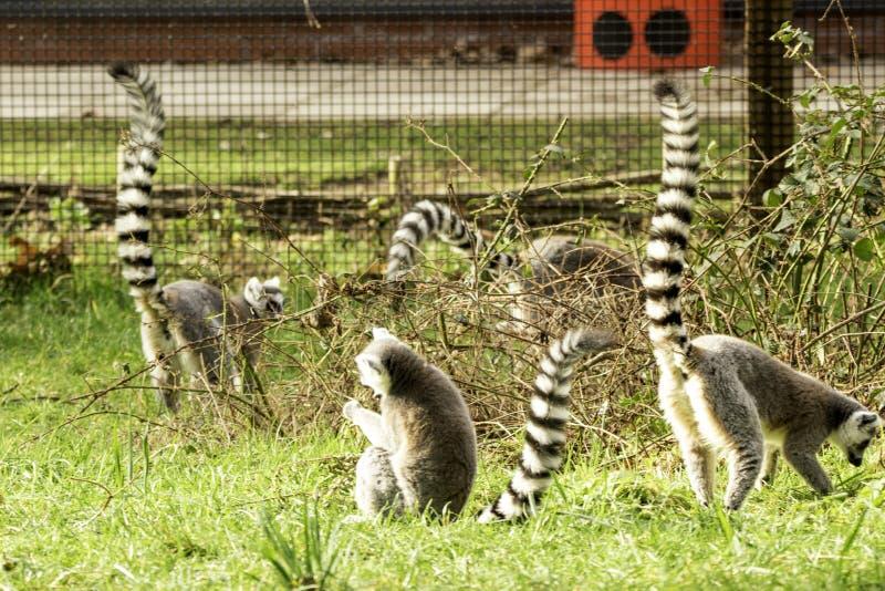 lemur lizenzfreie stockbilder
