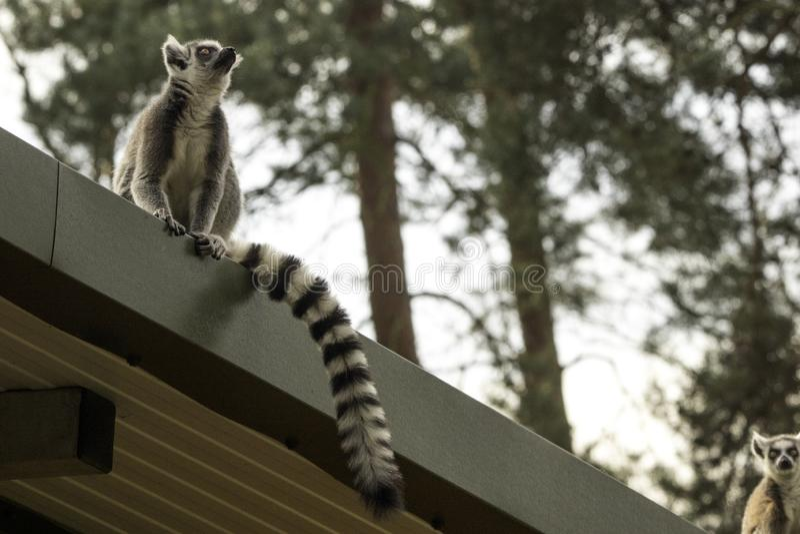 lemur stockfotos