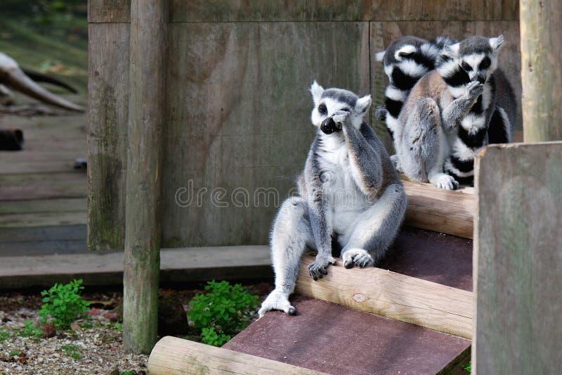 Lemur en cautiverio fotografía de archivo