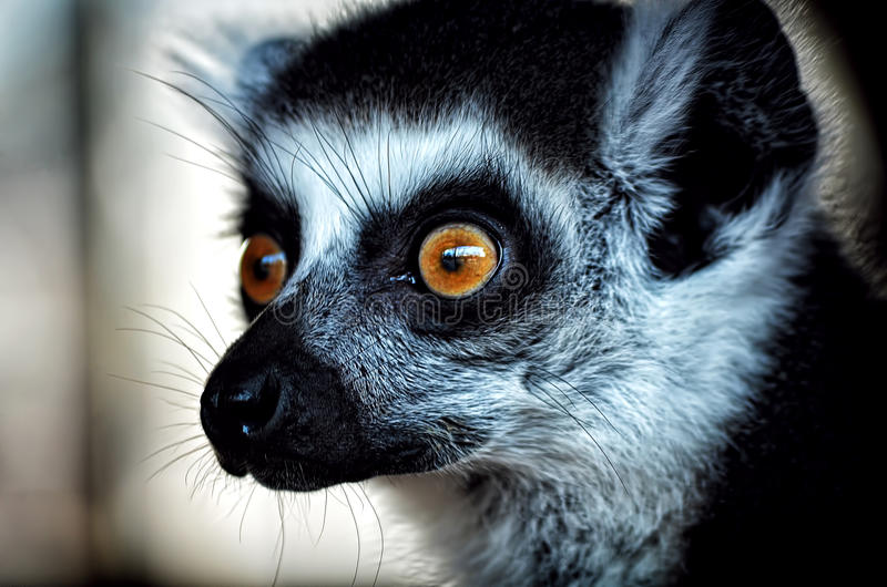 Lemur eyes. Lemur is waiting food in Skopje zoo garden stock photography