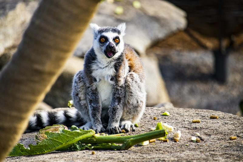 Lemur eating on a rock stock photo