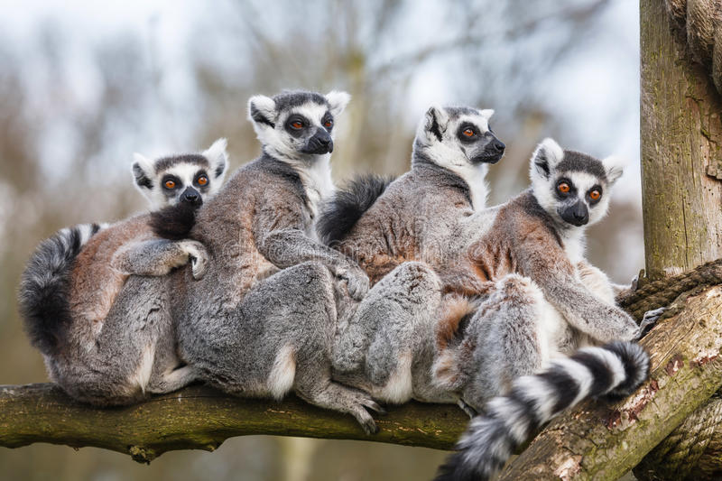 Lemur family. A family of ring-tailed Madagascan lemurs cuddle up in a zoo enclosure