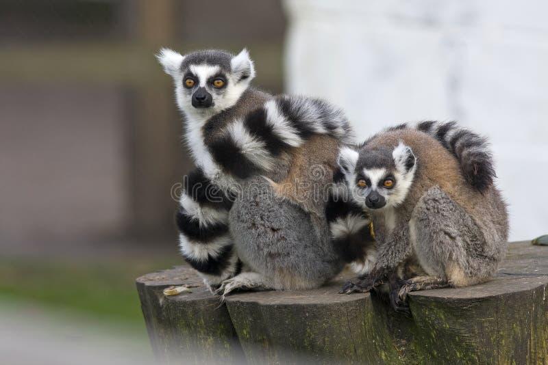 Lemur femenino con su bebé fotos de archivo libres de regalías