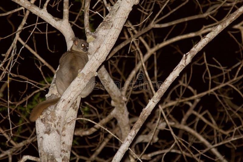 Lemur folâtre suivi rouge images libres de droits
