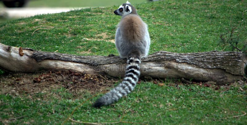 Download Lemur in a forest stock image. Image of explore, ears - 14237579