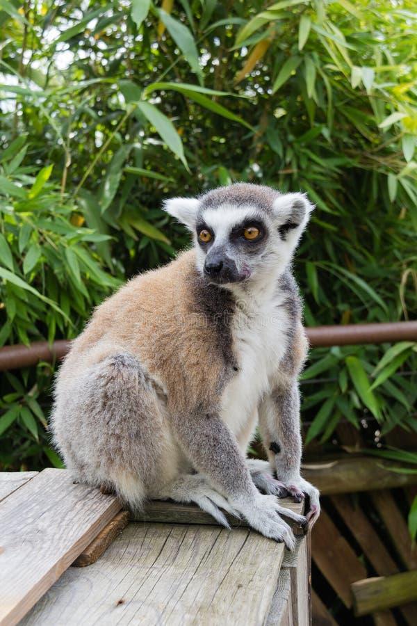 lemur imagens de stock
