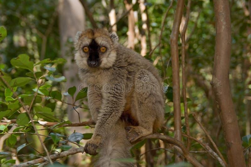 Lemur fronteado vermelho de Brown imagens de stock royalty free