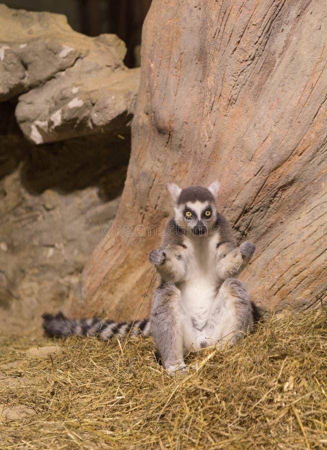Lemur funny animal mammal Madagascar. Lemur funny african animal mammal Madagascar royalty free stock photo