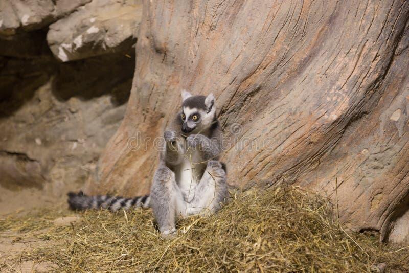 Lemur funny animal mammal Madagascar. Lemur funny african animal mammal Madagascar stock photography