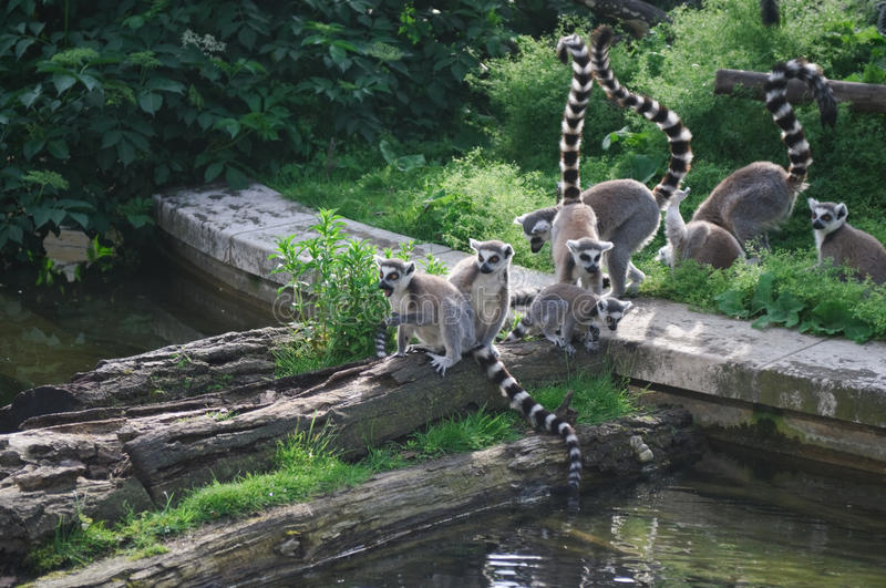 Download Lemur Group At Zoo Stock Image - Image: 18795401