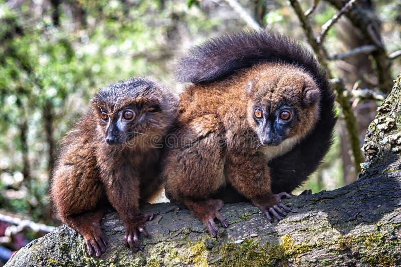 Lemur hecho bolso rojo fotos de archivo libres de regalías