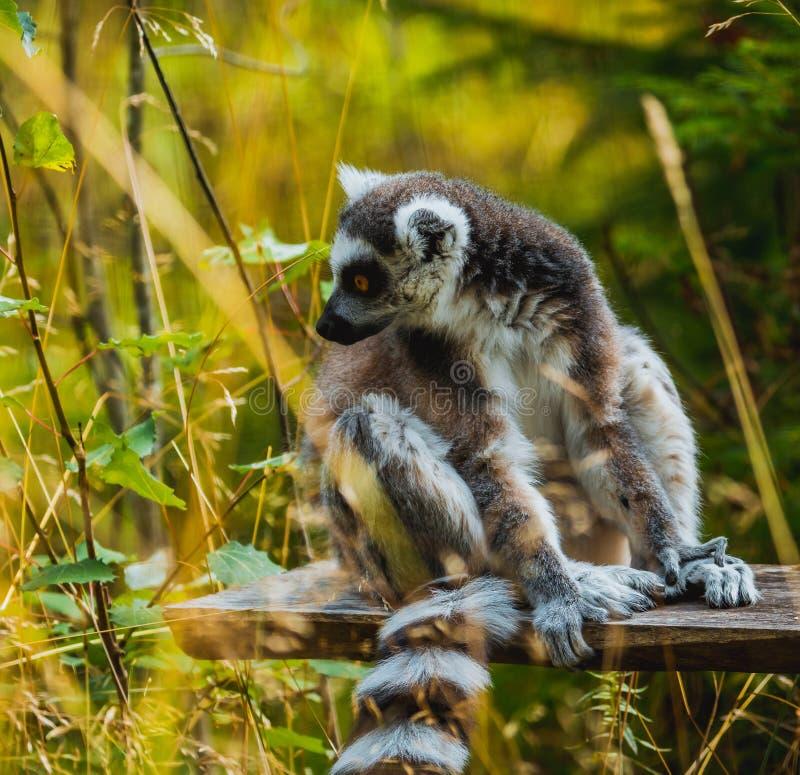 Lemur i en clearing fotografering för bildbyråer