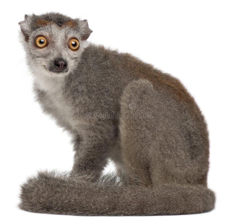 Lemur incoronato, coronatus di Eulemur, 2 anni fotografie stock