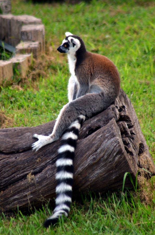 Lemur jest usytuowanym w ciszy zdjęcie stock