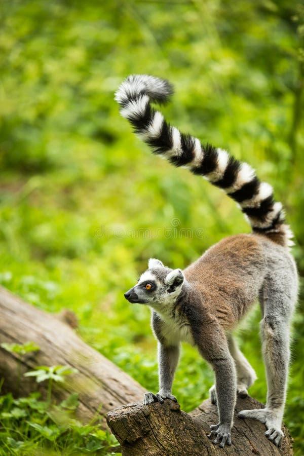 Lemur kata (Lemur catta). Cute lemur kata (Lemur catta royalty free stock image