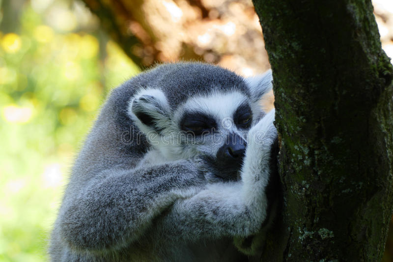 Lemur kata. Sleeping lemur kata on tree stock image