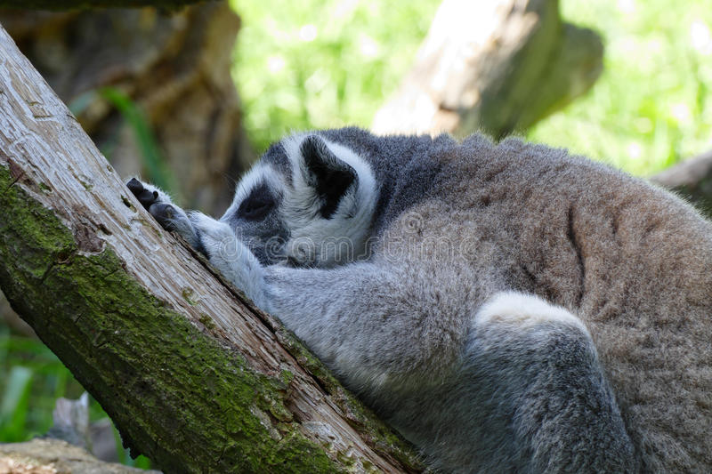 Lemur kata. Spleeping lemur kata on tree stock images