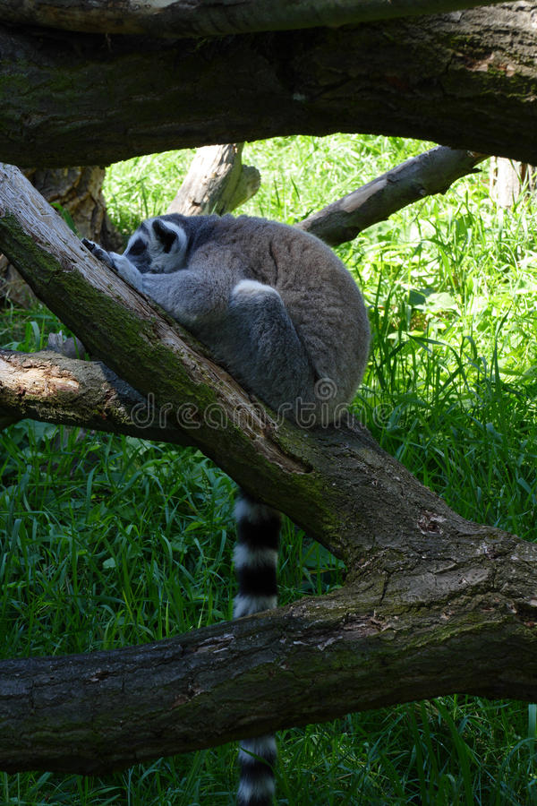 Lemur kata. Spleeping lemur kata on tree stock photos