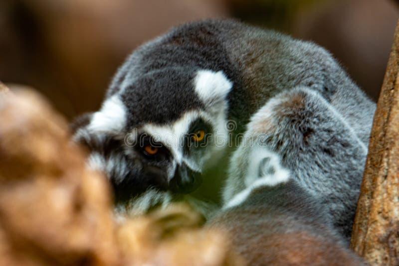 Lemur-Katta-Lemur-Lemur-Lemur-Kattacken am kalten Herbstmorgen zum Warmbleiben stockfotografie