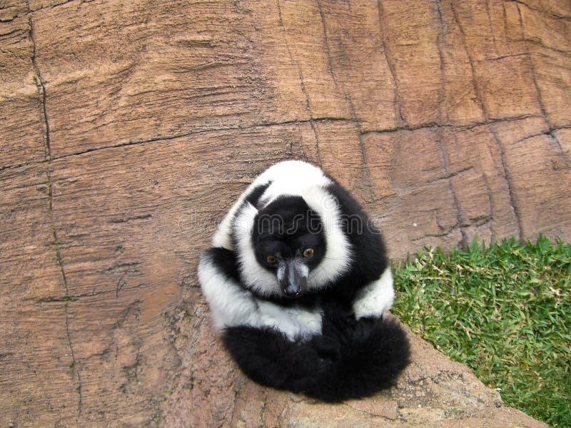 Download Lemur King stock photo. Image of animal, eyes, white - 15083000