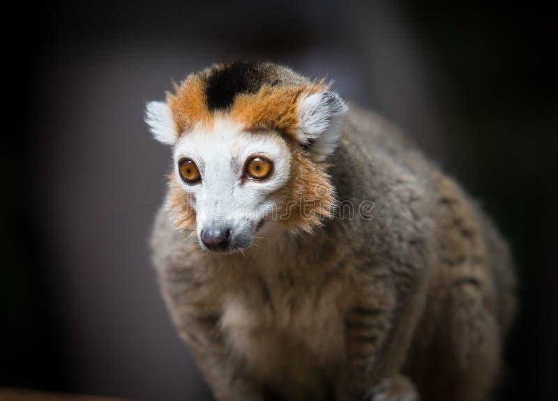 lemur koronowany zdjęcie royalty free