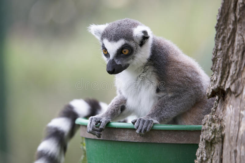 Lemur leaning over and staring down stock photo
