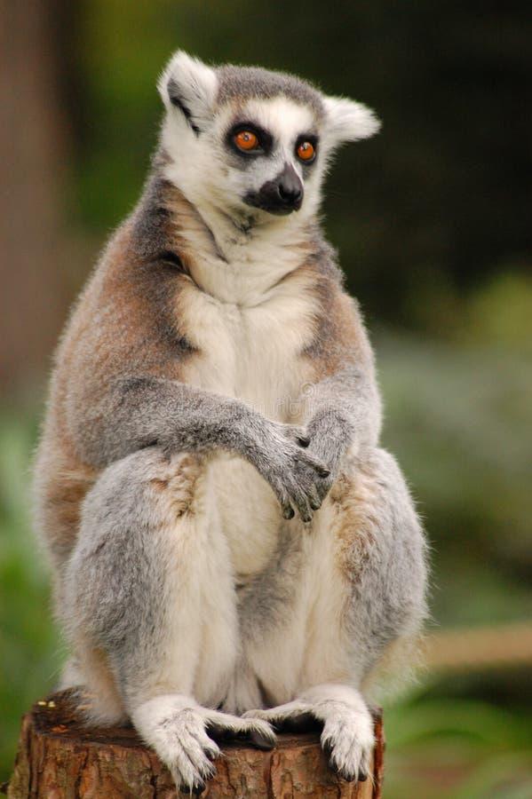 lemur fotografie stock
