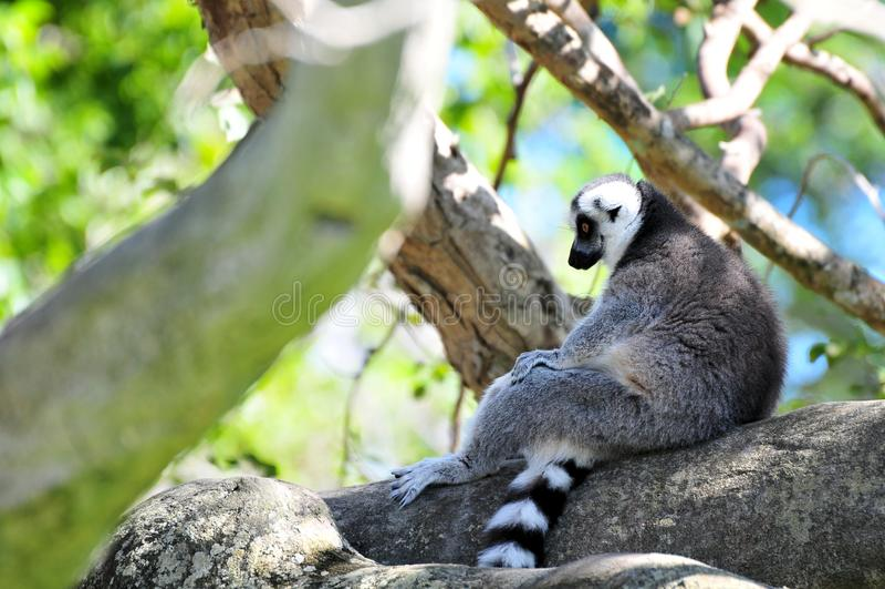 Lemur (lemuridae) stock image
