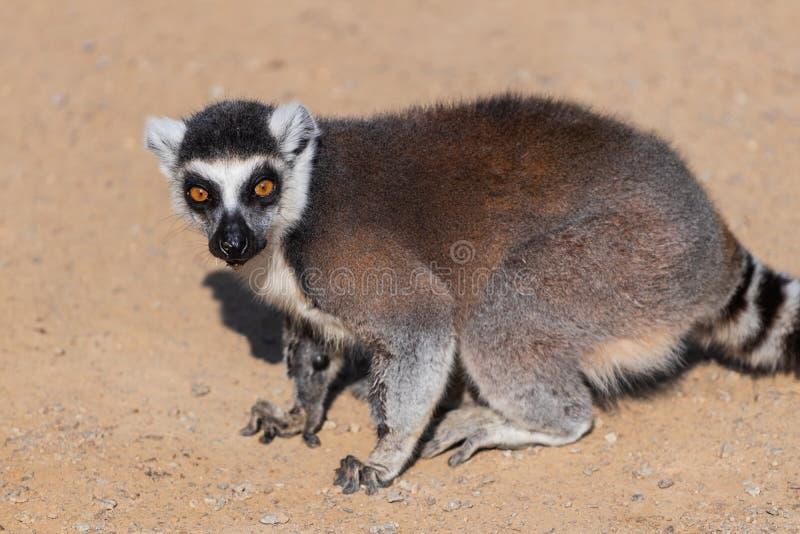 Lemur Lemuriformes sluit op de zandweg royalty-vrije stock afbeeldingen