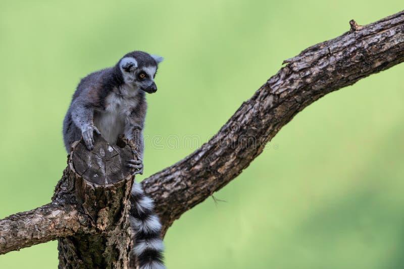 Lemur Lemuriformes immagine stock libera da diritti
