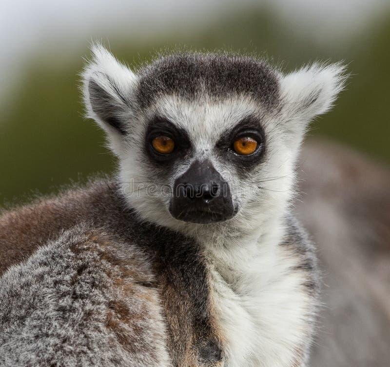 Lemur of Madagascar sunbathing on a rock. In madrid`s zoo royalty free stock photos