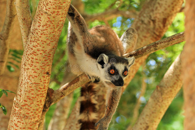 Lemur in Madagascar. Lemur on the tree in Madagascar, Africa stock photography