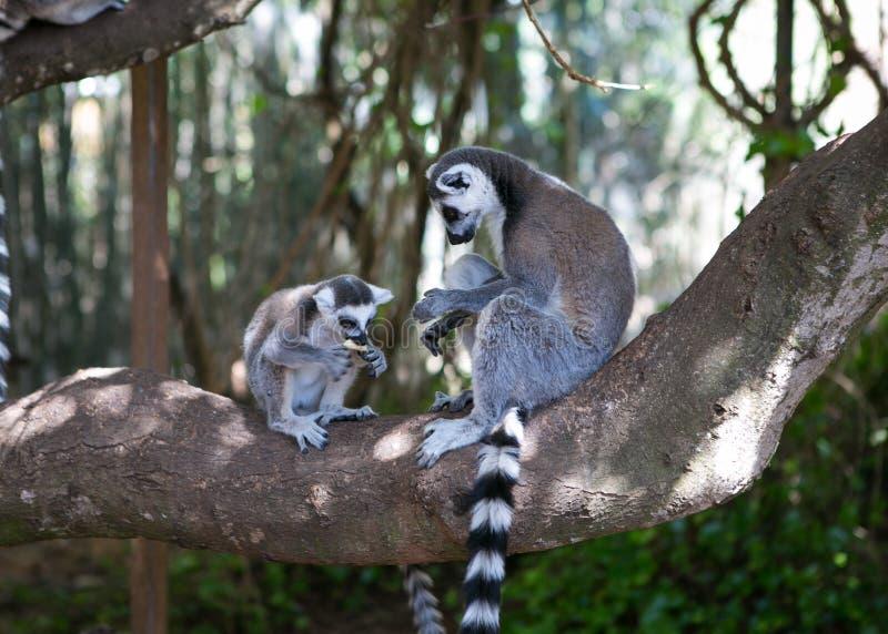 Lemur in Mallorca, Spanien lizenzfreies stockfoto