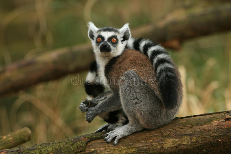 Lemur monkey. Beautiful captive lemur monkey with his tail wrapped around himself in a zoo royalty free stock photography