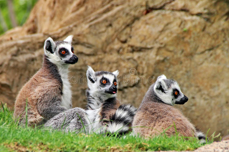 Lemur monkey. Family in grass royalty free stock images