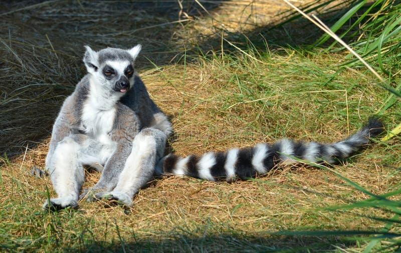 Lemur munito anello fotografie stock libere da diritti