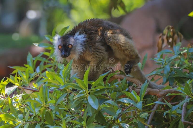 Lemur negro femenino imágenes de archivo libres de regalías