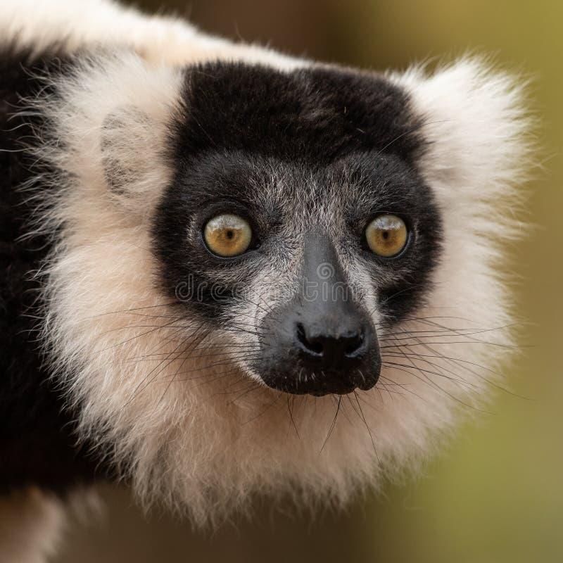 Lemur nella foresta fotografie stock