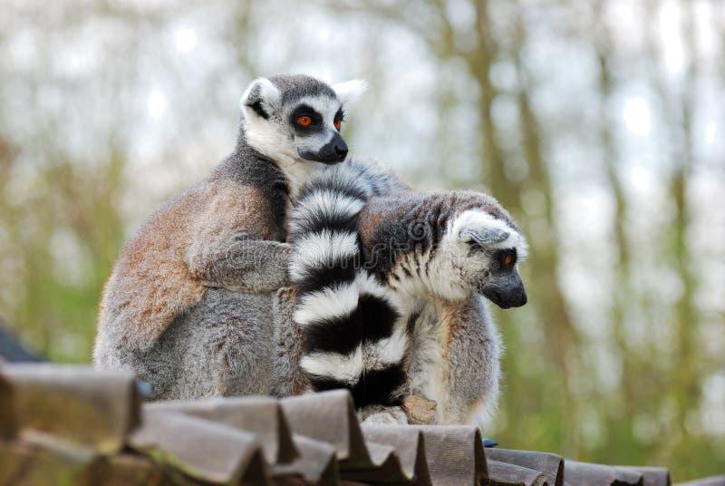 Lemur nella prigionia immagine stock libera da diritti