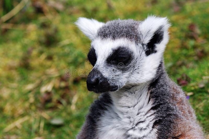 Lemur nella prigionia fotografia stock libera da diritti