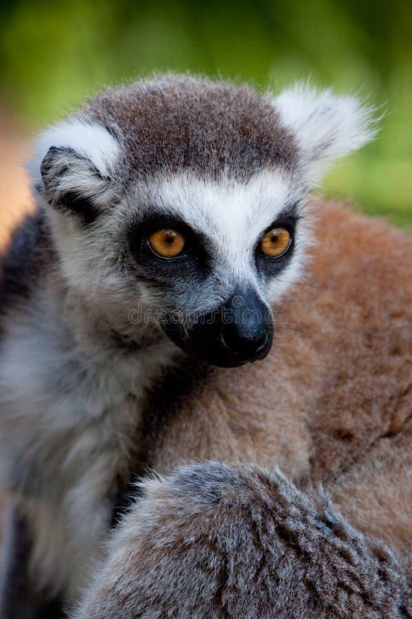 Lemur olhar fixamente