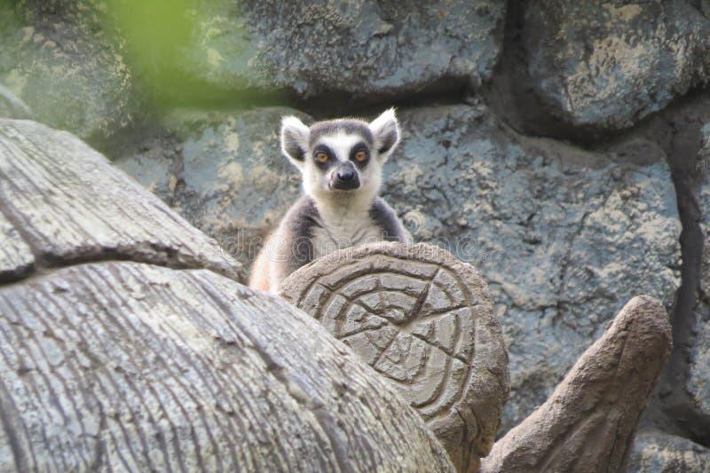 Lemur på treen fotografering för bildbyråer