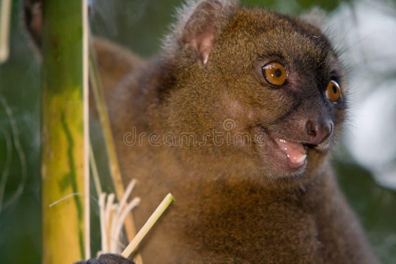lemur plus grand en bambou images libres de droits