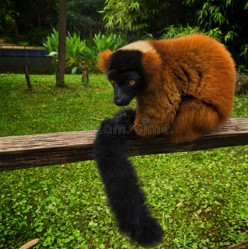 Lemur portrait sitting on wood in zoo royalty free stock image