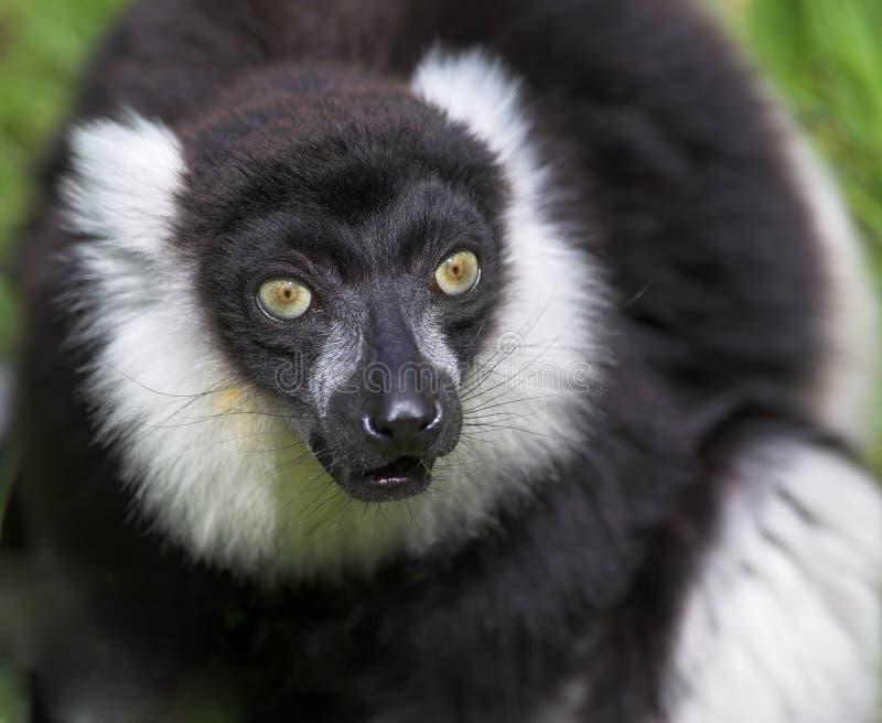 Lemur preto e branco de Ruffed imagem de stock royalty free