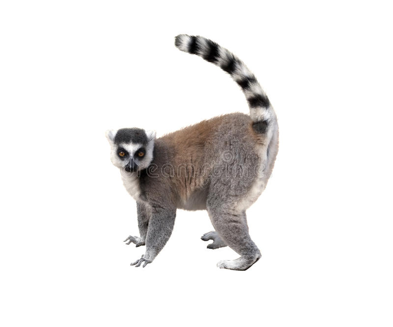 Lemur. Profile view, isolated over white background royalty free stock image