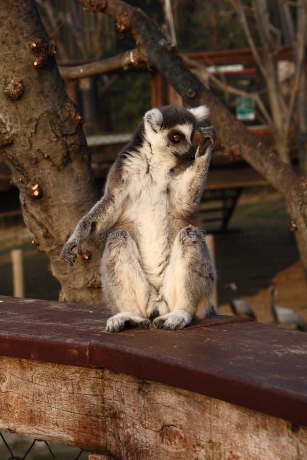 lemur prosimian fotografia stock