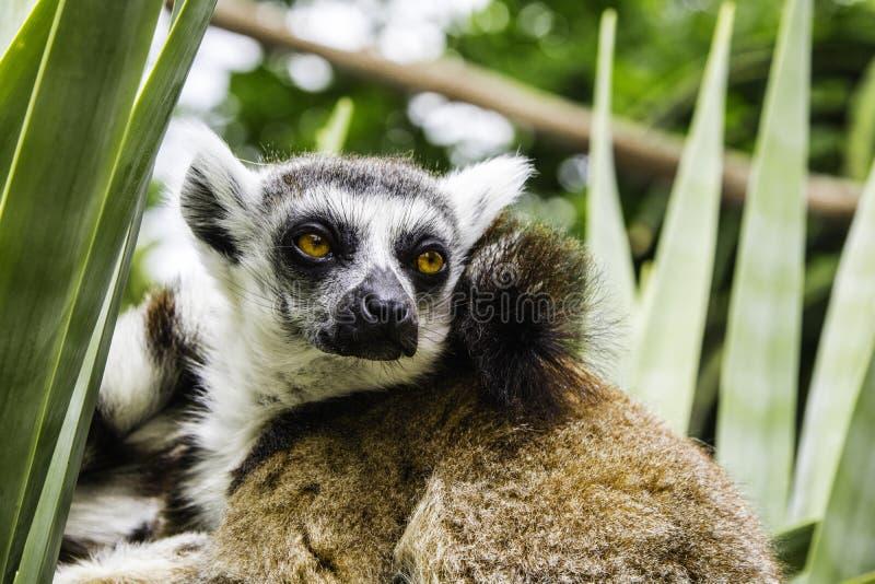 Lemur przy zoo w Melbourne zdjęcie stock