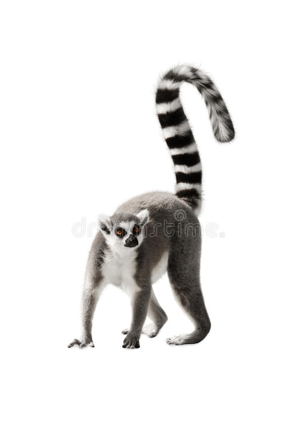 Lemur. The Lemur with a raised tail standing on white background royalty free stock photo