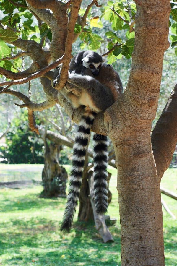 Lemur rayé image stock
